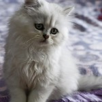 Chinchilla Persian Cat  , 7 Cool Persian Cat Characteristics In Cat Category