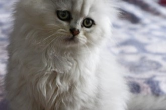 Chinchilla Persian Cat  in Dog