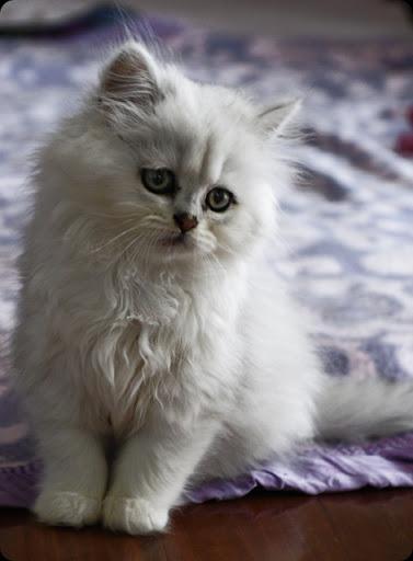 Cat , 7 Cool Persian Cat Characteristics : Chinchilla Persian Cat