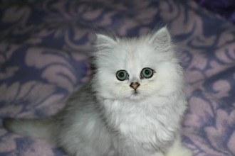 Chinchilla Persian Cat in Organ