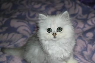 Chinchilla Persian Cat in Plants