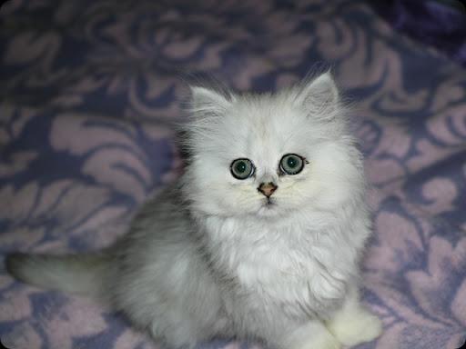 Cat , 6 Awesome Persian Cats Personality : Chinchilla Persian Cat
