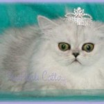 Chinchilla Persian Cats , 9 Cool How Much Do Persian Cats Cost In Cat Category