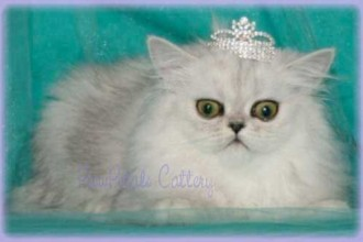 Chinchilla Persian Cats in Dog