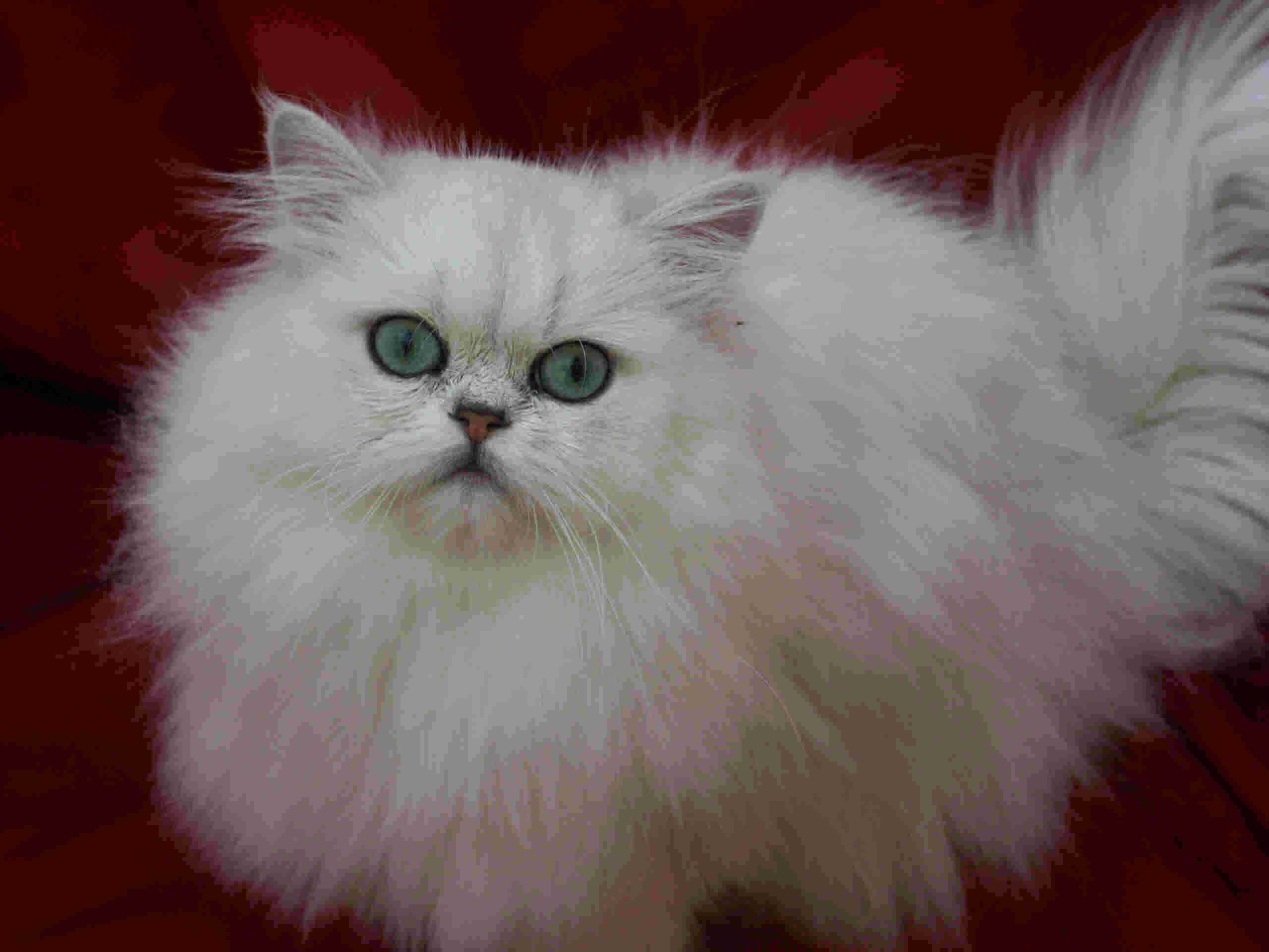 Chinchilla Persian Cat 9 Charming Chinchilla Persian Cat