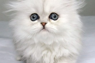 Chinchilla Persian cats in Bug