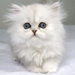Chinchilla Persian cats daily beauty , 9 Charming Chinchilla Persian Cat In Cat Category