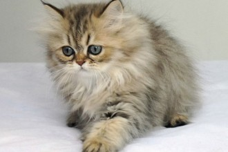 Chinchilla Persian Cats , 9 Nice Persian Cat Eye Care In Cat Category
