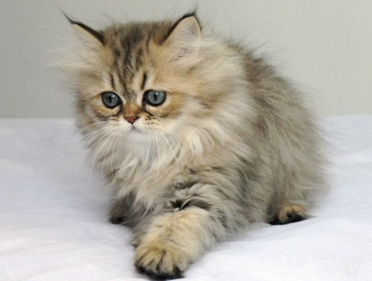 Cat , 9 Nice Persian Cat Eye Care : Chinchilla Persian Cats