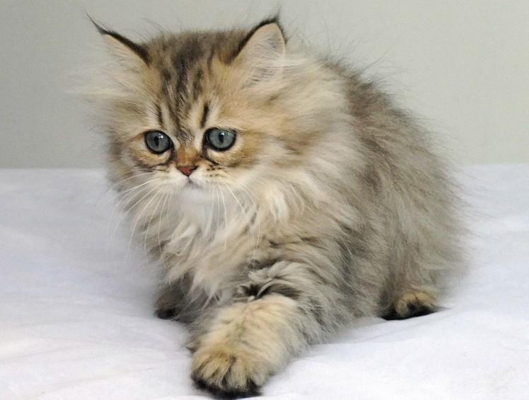 Chinchilla Persian Cats 9 Nice Persian Cat Eye Care