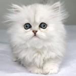 Chinchilla Persian cats , 8 Lovely Persian Chinchilla Cat In Cat Category