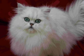 Chinchilla Persian in Dog