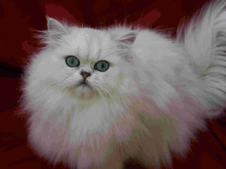 Cat , 7 Charming Chinchilla Persian Cats : Chinchilla Persian