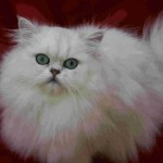 Chinchilla Persian , 8 Lovely Persian Chinchilla Cat In Cat Category