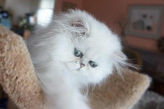 Chinchilla Silver Persian , 6 Awesome Persian Cats Personality In Cat Category