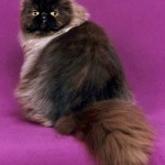 Chocolate Persian , 9 Awesome Types Of Persian Cats In Cat Category