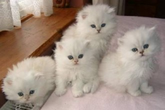 Chunky Teacup Persian , 9 Charming Tea Cup Persian Cat In Cat Category