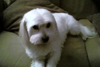 Coton De Tulear Pet Cut in Cell