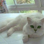 Cute Cat Breed , 9 Good Grooming Persian Cats In Cat Category