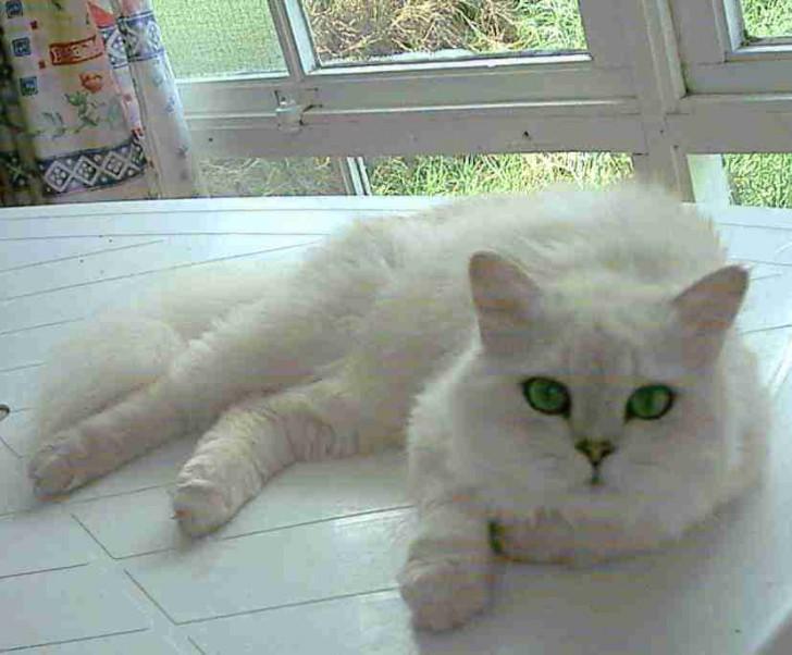 Cat , 9 Good Grooming Persian Cats : Cute Cat Breed