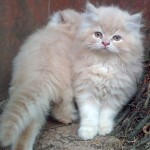 Cute Persian Kittens , 8 Beautiful Persian Names For Cats In Cat Category