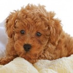 Cute Poodle Puppies , 9 Nice Puppies For Sale In Wheeling Wv In Dog Category