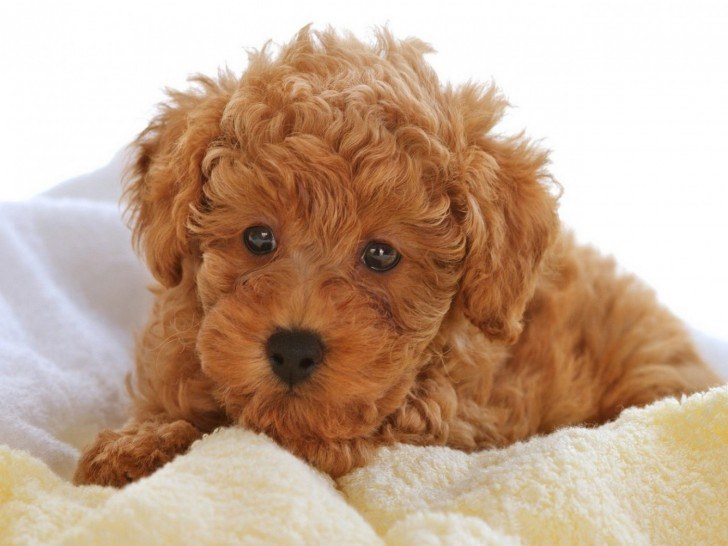 Dog , 9 Nice Puppies For Sale In Wheeling Wv : Cute Poodle Puppies