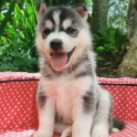 Cute Siberian Huskies , 9 Beautiful Siborgi Puppies In Dog Category