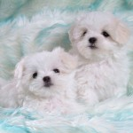 Cute White Puppies , 8 Cute Puppies For Sale In Williamsport Pa In Dog Category