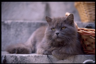 Cat , 8 Charming Different Types Of Persian Cats : Different Types of Cats