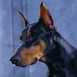 Doberman Pinscher Information , 8 Cool Warlock Doberman Puppies For Sale In Dog Category