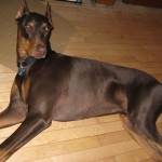 Doberman Warlock , 8 Cool Warlock Doberman Puppies For Sale In Dog Category