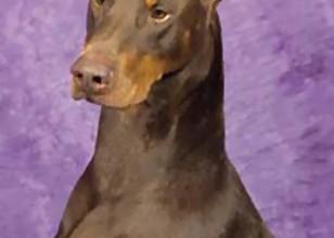 Doberman Warlock , 8 Cool Warlock Doberman Puppies For Sale In Dog Category