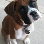 Dogs Boxer Puppies , 9 Amazing Boxer Puppies Spokane Wa In Dog Category