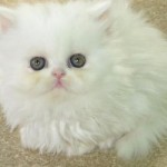 Doll Face Cream Color , 8 Unique Doll Faced Persian Cats In Cat Category