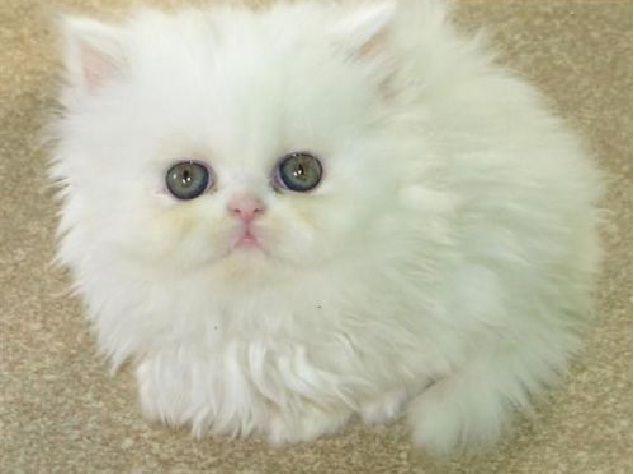 Cat , 8 Unique Doll Faced Persian Cats : Doll Face Cream Color