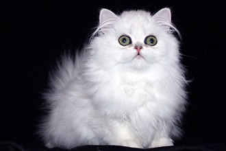Doll Faced Persian Cat in Dog