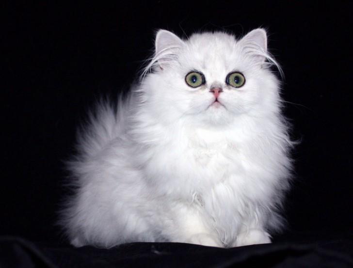 Cat , 6 Cute Doll Face Persian Cat : Doll Faced Persian Cat