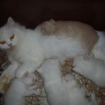 Doll Faced Persian Cat Matahari , 8 Unique Doll Faced Persian Cats In Cat Category