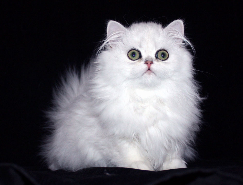 Doll Faced Persian Cat