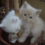 Doll Faced Persian kittens , 8 Unique Doll Faced Persian Cats In Cat Category