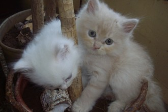 Doll Faced Persian kittens in Forest