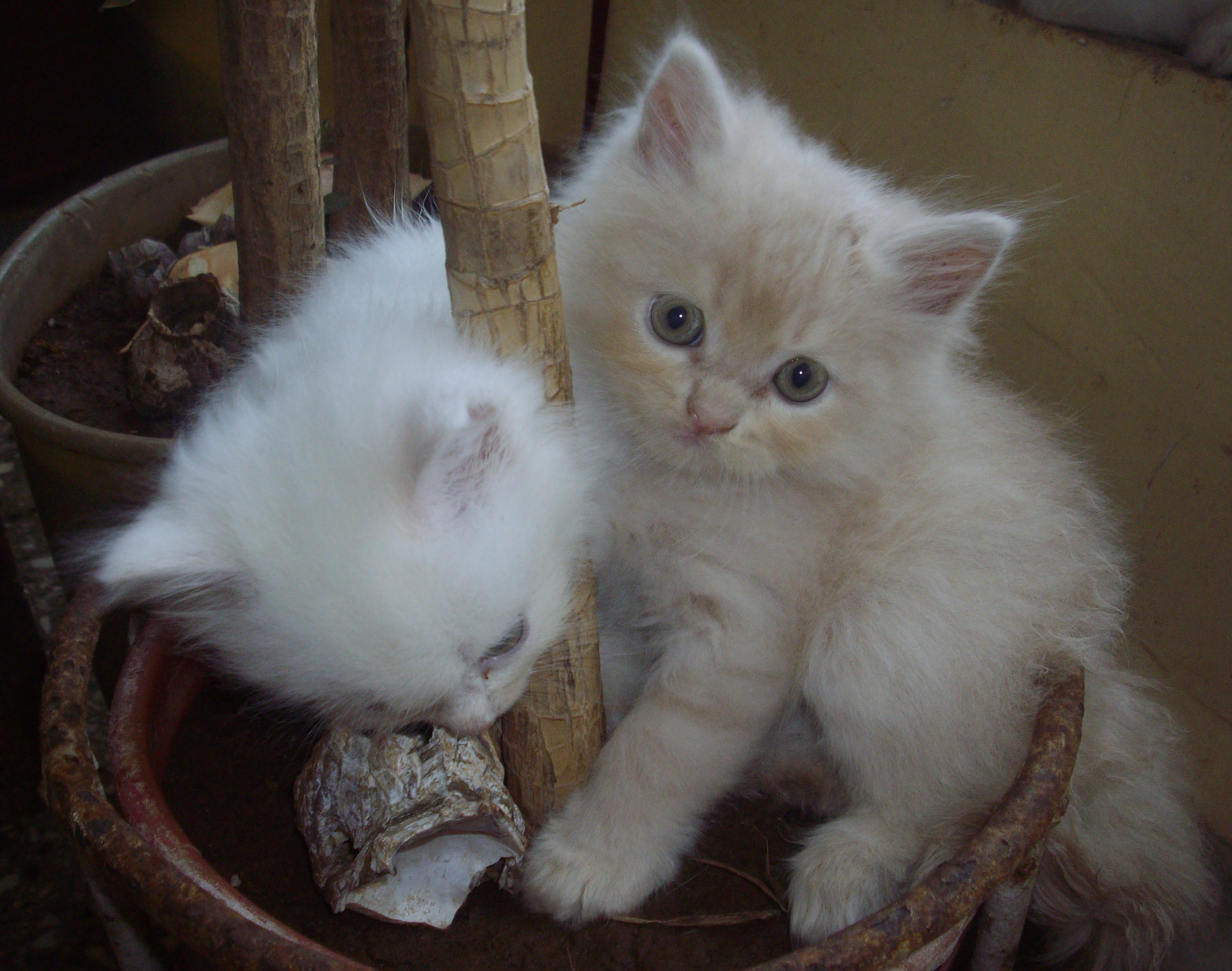 Doll Faced Persian Kittens 9 Awesome Types Persian Cats