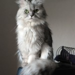 Doll face silver Persian , 6 Cute Doll Face Persian Cat In Cat Category