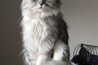 Doll face silver Persian in Laboratory