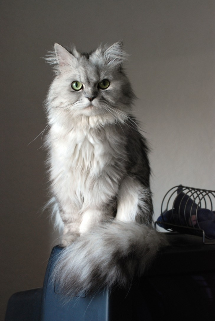 Cat , 6 Cute Doll Face Persian Cat : Doll Face Silver Persian