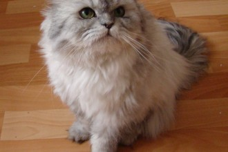 Doll face silver Persian in Forest