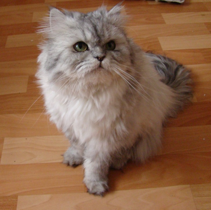 Cat , 8 Unique Doll Faced Persian Cats : Doll Face Silver Persian
