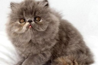 Exotic Cat Pictures , 7 Nice Exotic Shorthair Persian Cat In Cat Category