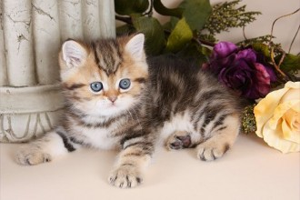 Exotic Persian Kitten , 7 Cool Short Haired Persian Cats For Sale In Cat Category